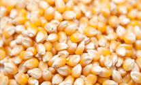 ZFS Non-GMO corn seed