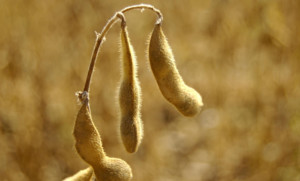 ZFS Non-GMO soybeans_1